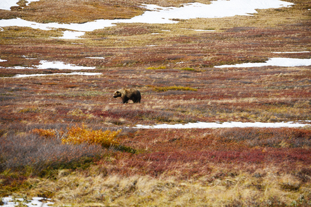 bear berry: grizzly bear in denali in autumn Stock Photo
