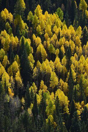 aspen tree: yellow aspen tree from colorado in autumn