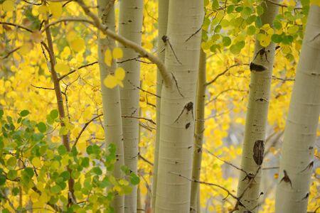 yellow aspen tree from colorado in autumn