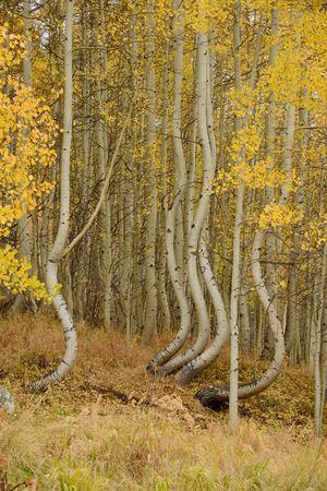 aspen tree: curved aspen tree in colorado