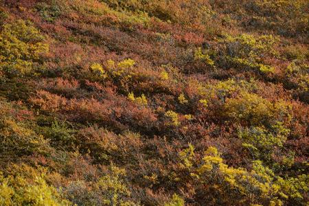 aspen leaf: autumn color in denali tundra Stock Photo
