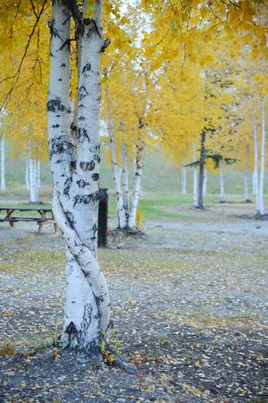 aspen leaf: fall color of aspen tree in alaska