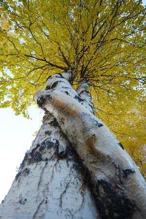 aspen tree: crooked aspen tree