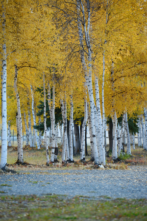fall trees: fall color of aspen tree in alaska