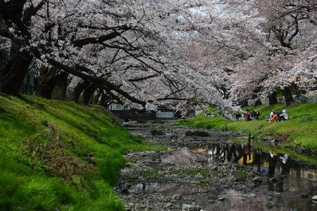 cherry blossom near tachikawa tokyo