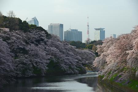 cherry blossom at chidorigafuchi tokyo Stock Photo