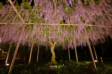 wisteria flowers in japan with illumination
