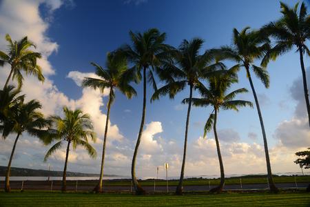 Coconut Tree from Hilo, Big Island