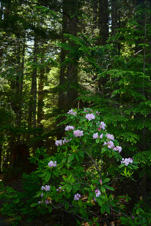 rhododendron in oregon Stock Photo