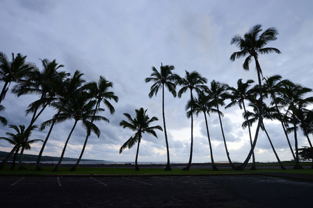 Coconut Tree from Hilo, Big Island