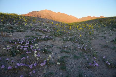 death valley wildflower super bloom Stock Photo