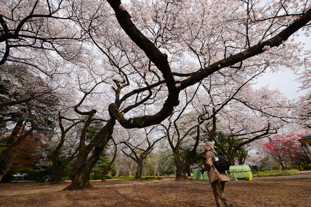 cherry blossom at shinjuku park tokyo Stock Photo