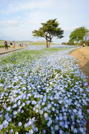 nemophila bloom in japan