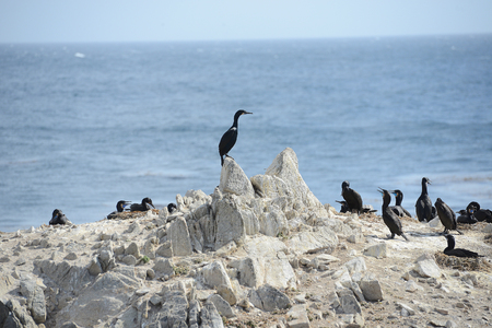 bird on rock at monterey coast Stock Photo - 95807845