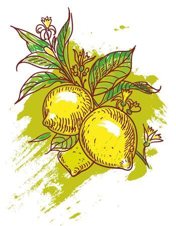hand drawn illustration of yellow lemons Illustration