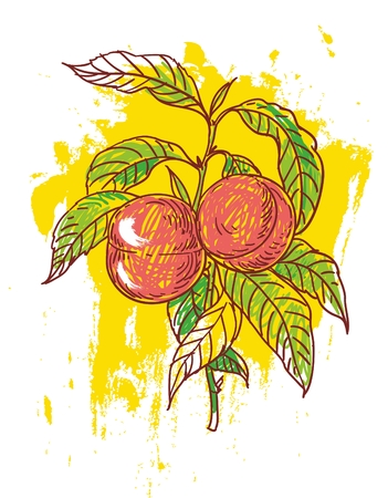 hand drawn illustration of ripe peaches