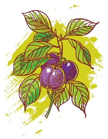 hand drawn illustration of ripe plums