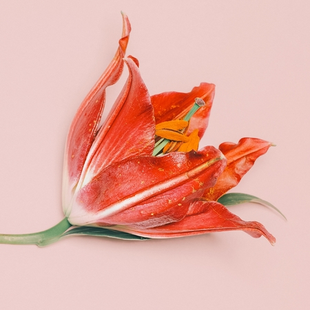 Red Lily on pink background. Romantic mood. Minimalism fashion