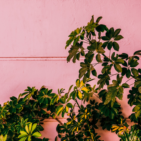 Plant on pink. Fashion minimal tropical mood