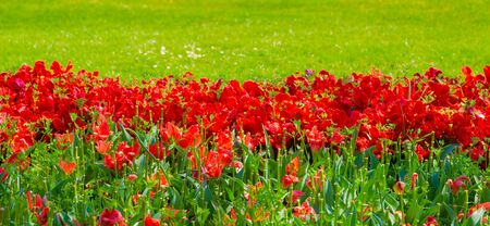 Aesthetics wallpaper flowers. Red Tulip bloom background. Spring summer vibes
