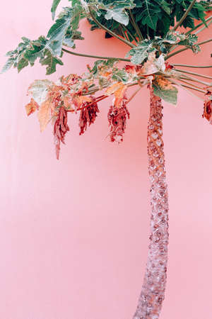 Plants on pink fashion concept. Pink wall. Palm. Canary Island