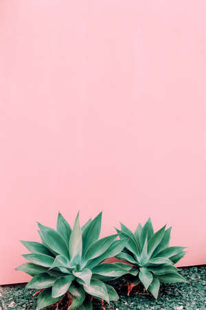 Plants on pink concept. Aloe on pink wall background. Canary island