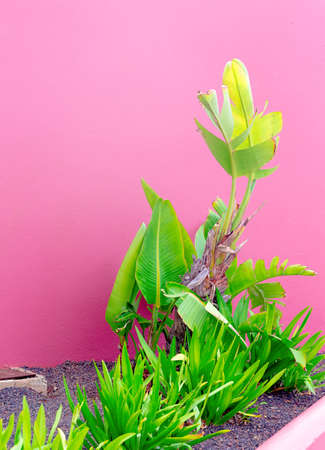 Plants on pink stylish concept. Plant canary island Imagens