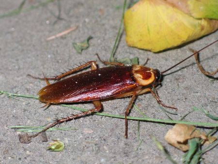 roach: red roach crowling