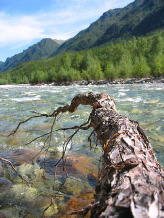 clear path: pine root branch over the stream
