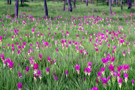 Pink Siam Tulip flower Field blossom once a year Stock Photo