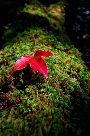 red maple leaf: Red maple leaf on green moss