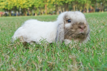 sable: Sable Poin lop rabbit lying down on grass Stock Photo