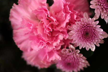 macro close up of pink canation and chrysanthemum flower with selective focus on the center photo