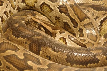 reticulatus: Close up of Python reticulatus, coiled up