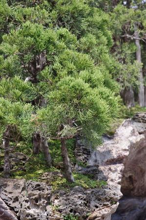 bonsai tree: Garden of  pine Bonsai  tree