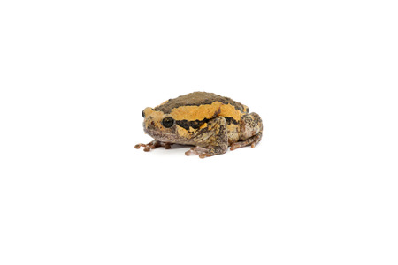 anura: Toad isolated on white Stock Photo