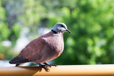 beak doves: pigeons