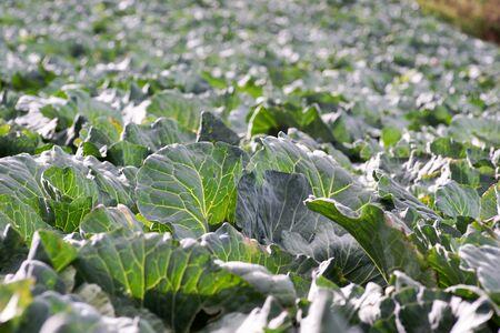 Cabbage Foto de archivo