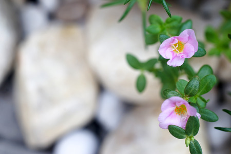 Common Purslane flower and blurred stone background for copy space Foto de archivo