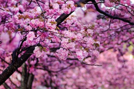 Pink Yae-zakura ; Double-layer Cherry Blossom Foto de archivo