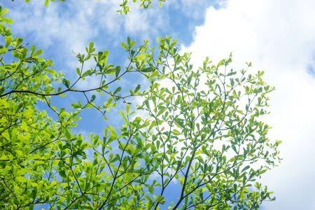Green leaves and blue sky Foto de archivo