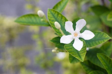 White Inda flower; Wringhtia antidysenterica R.Br Foto de archivo