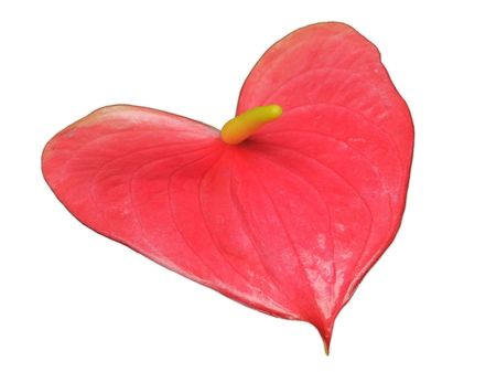 Heart-shaped anthurium leaf