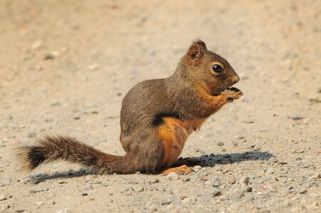 snacking: Douglas squirrel snacking on a dirt path Stock Photo