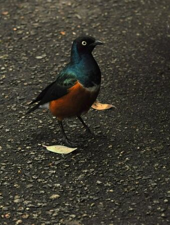 superb: African Superb Starling crossing the road