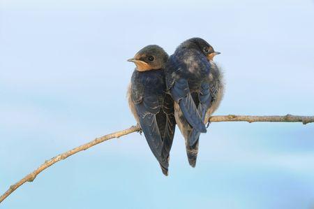 juvenile: A pair of juvenile Barn Swallows