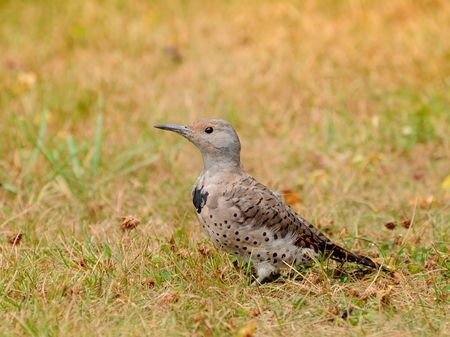Female Northern Flicker checking out for food