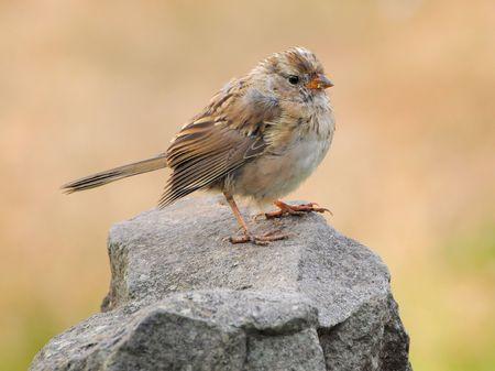 juvenile: Juvenile White-crowned Sparrow