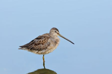 Sandpiper standing on one foot