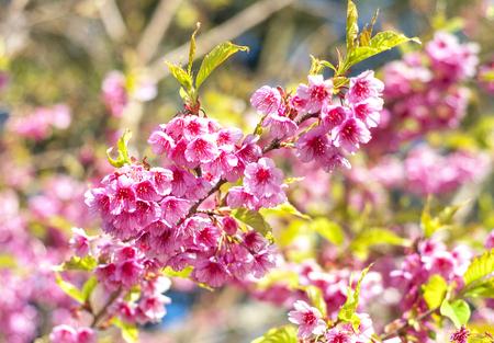 Wild Himalayan Cherry on blue sky Stock Photo